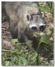 Crab Eating Raccoon picture